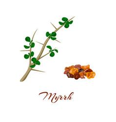 Myrrh commiphora myrrha vector