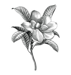 antique engraving magnolia flower twig black vector image