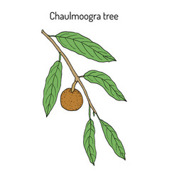 chaulmoogra tree hydnocarpus anthelminticus vector image