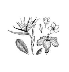 strelitzia hibiscus plumeria flowering plants vector image