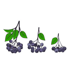 A set of isolated branches of aronia bunches of vector