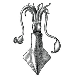 antique engraving squid black and white clip vector image