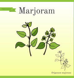 Aromatic herbs collection - marjoram vector