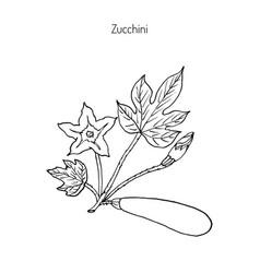 zucchini plant vector image