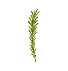 Green rosemary sprig with flowers on white vector