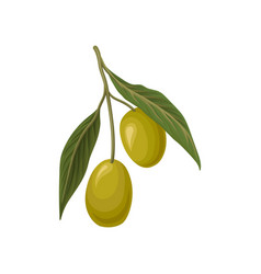 Ripe green olives with leaves vector