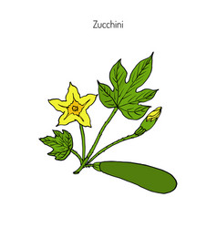 Zucchini plant vector