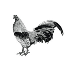 antique rooster vintage hand draw engraving vector image