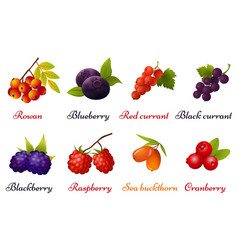 collection of berries on white background vector image