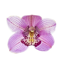 Pink orchid isolated on white background vector image