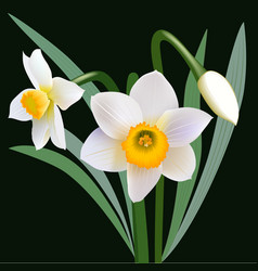 Narcissus flowers with leaves and bud vector image