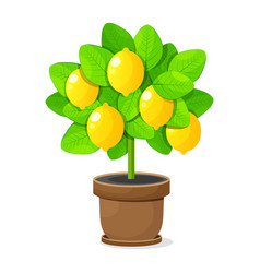 lemon tree in clay pot on white background vector image