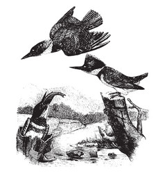 Belted kingfishers vintage vector