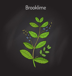 Brooklime veronica beccabunga european speedwell vector