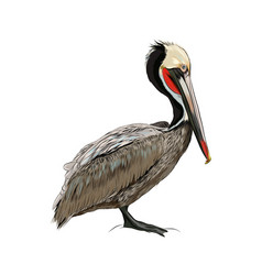 pelican from a splash watercolor colored vector image