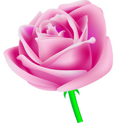 Rose pink vector