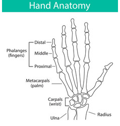 Human hand skeletal anatomy vector