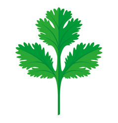 coriander or cilantro leaf vector image