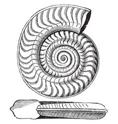Ammonite bifrons vintage vector