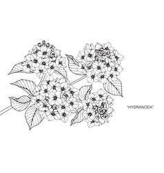 hydrangea flower drawing vector image