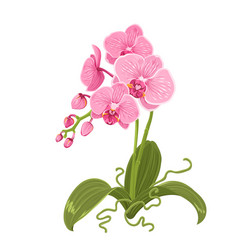 Pink orchid phalaenopsis flower isolated roots vector