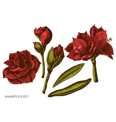 set hand drawn colored amaryllis vector image