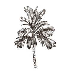 Palm tree sketch for design vector