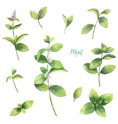 Watercolor set of mint branches isolated vector