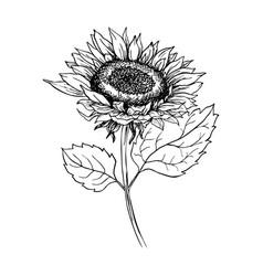 Sunflower hand drawn ink pen vector