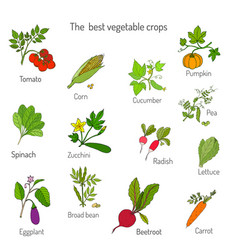 best vegetables crops vector image