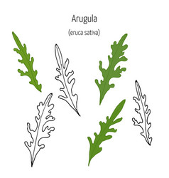 leaves of arugula vector image