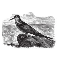 Arctic tern vintage vector