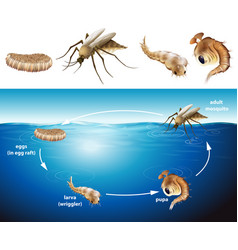 Life cycle of mosquito in the pond vector