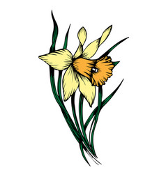 yellow narcissus floral botanical flower vector image