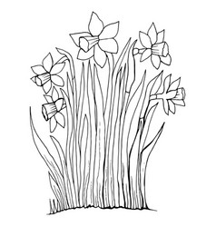 coloring page collection flowers of the narcissus vector image