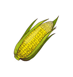 corn organic agricultural raised food icon vector image