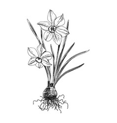 hand drawn spring daffodil flower vector image