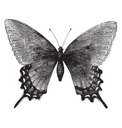 Troilus butterfly vintage vector