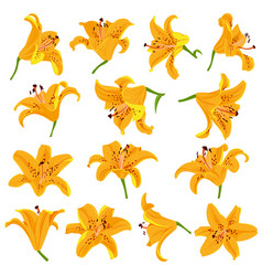 Drawing lily flowers vector