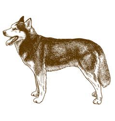 Engraving husky dog vector