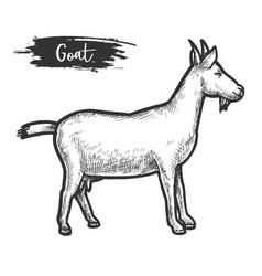 goat animal sketch or hand drawn lamb vector image