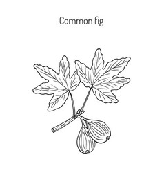 common fig vector image