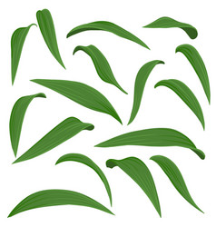 drawing leaves lily flowers vector image