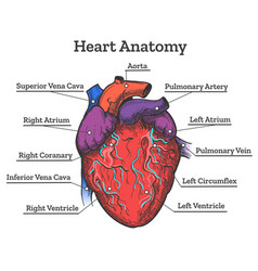 Heart anatomy colored sketch vector