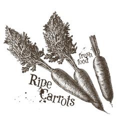carrots logo design template fresh vector image