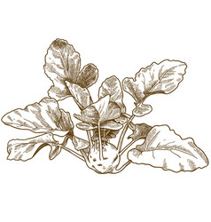 engraving of kohlrabi vector image