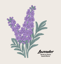 hand drawn lavender branch with leaves and vector image