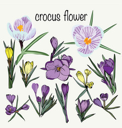 set crocus spring flowers collection violet vector image