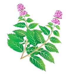 Green mint branches with blossom vector
