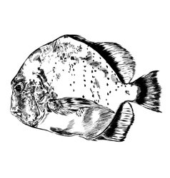 Sketch of hand drawn fish vector image vector image